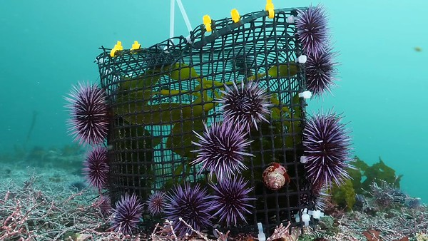 Urchin Incarceration