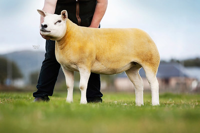 Scottish National Show & Sale of Texel Sheep 2015