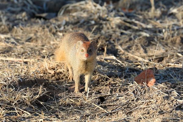 2017 Slender Mongoose Kaingo Zambia
