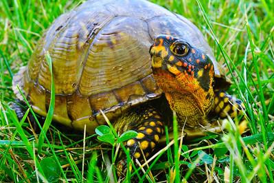 2012 06 23 Box Turtle