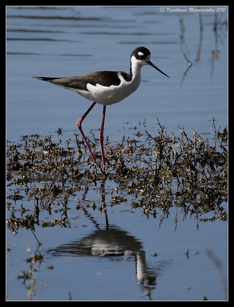Black-necked Stilt, Sorrento Valley Pump Station, San Diego County, California, February 2010