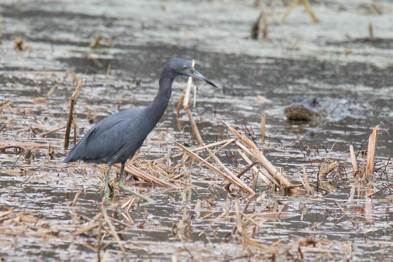 Little Blue Heron and Gator 2019-1.jpg
