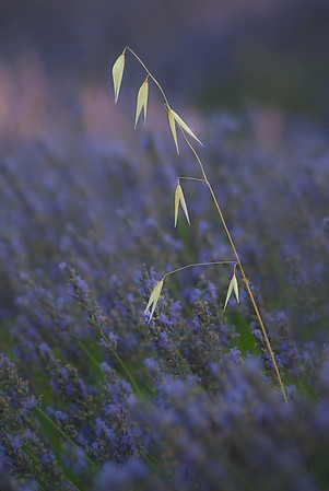 Lavender provencal