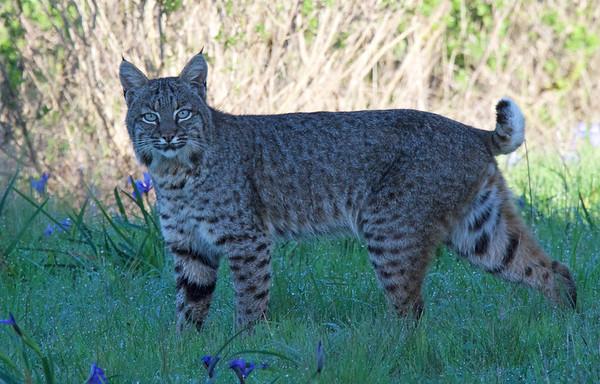Bobcat 3-25-16