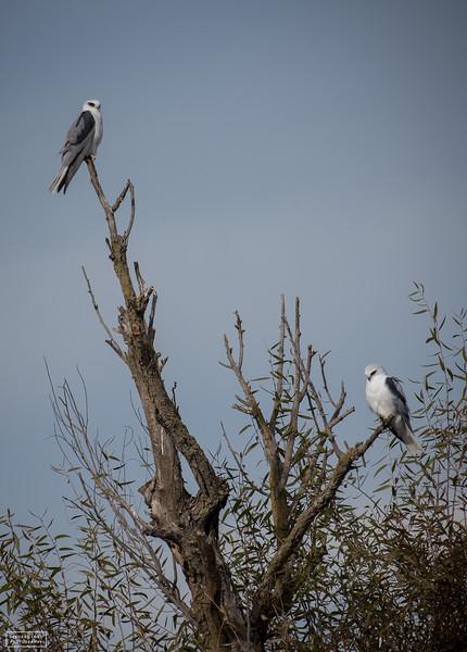 White-tailed Kite Pair