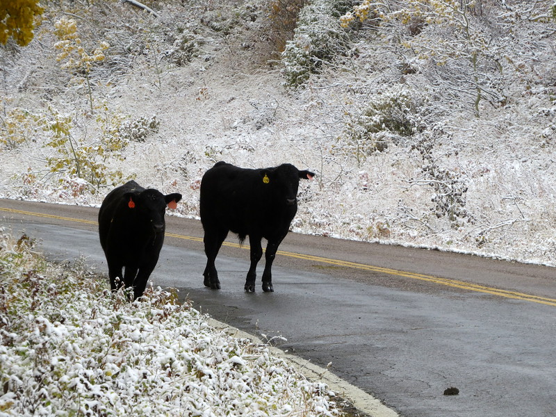 COWS ON A MOUNTAIN HIGHWAY