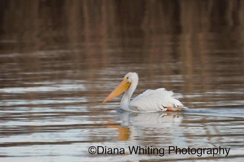 White Pelican Inner Harbor Onondaga Lake Syracuse NY.jpg