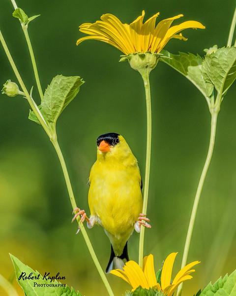 American Goldfinch-7843.jpg