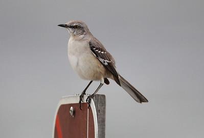 Kertut (Warblers)