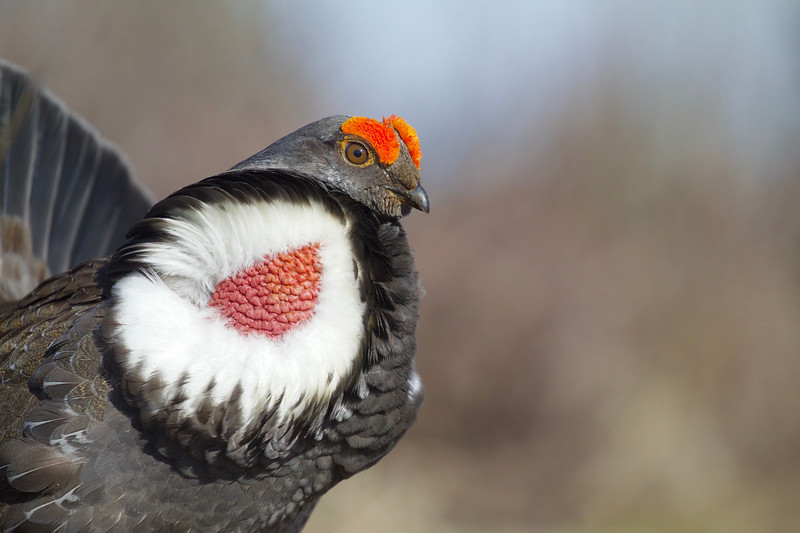 Dusky Grouse, a.k.a. Blue Grouse