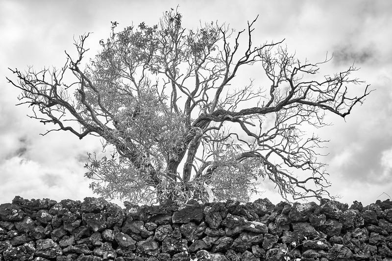Koa Tree and Lava Rock Wall, Hawaii
