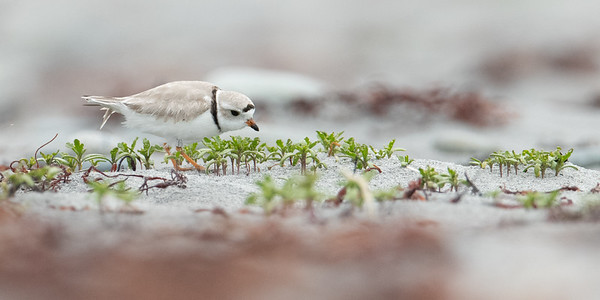 Pipping Plover 2019