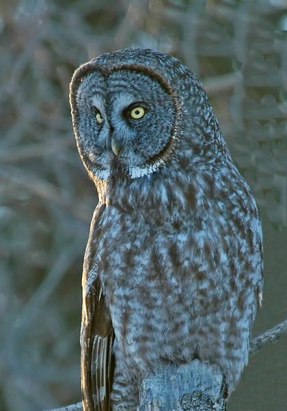 Owl - Great Gray - Carlton County Road 73 - MN