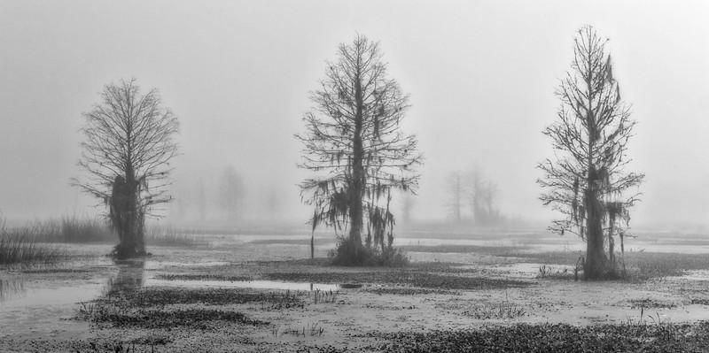 Cypress trees in heavy fog at Orlando Wetlands