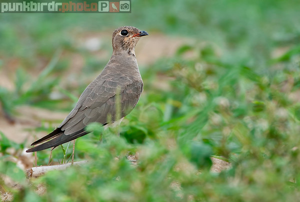 Coursers and Pratincoles
