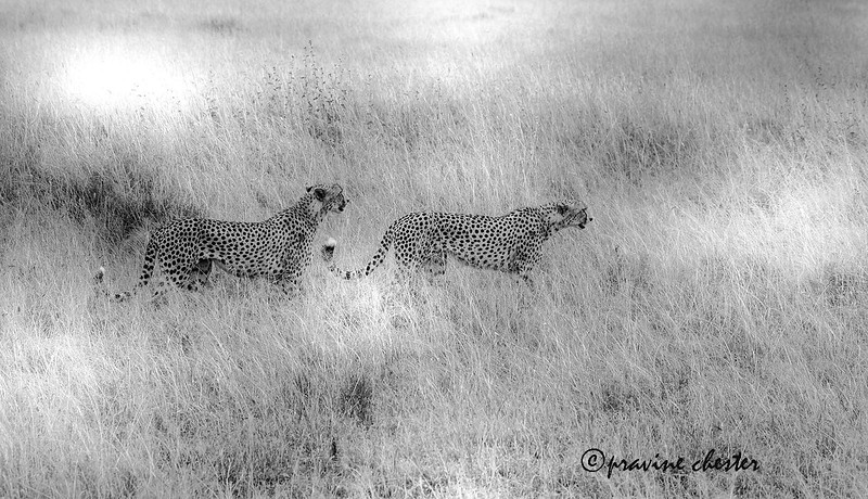 Cheetahs in the Savannah