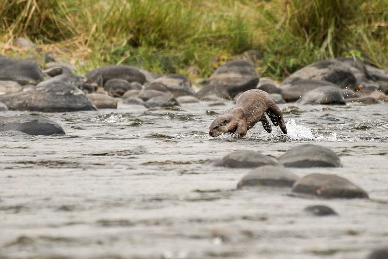 Smooth coated Otter in fishing mode