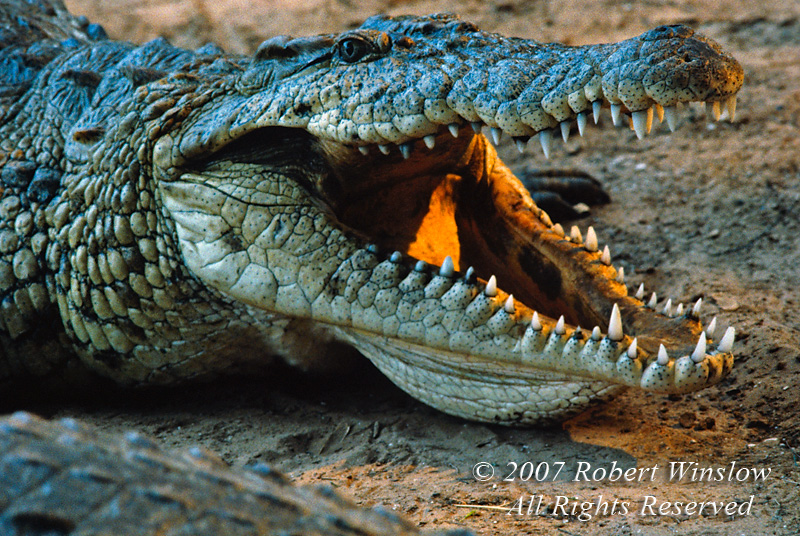 Reptiles - Africa - Crocodiles