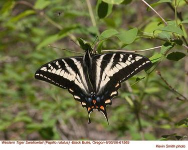 WesternTigerSwallowtail61569.jpg
