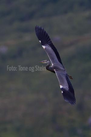HEGRE TRANE RIKSER Herons and Rails