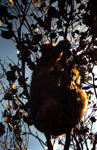 1970-11 (13) Koala in tree @ Epplestuns.JPG