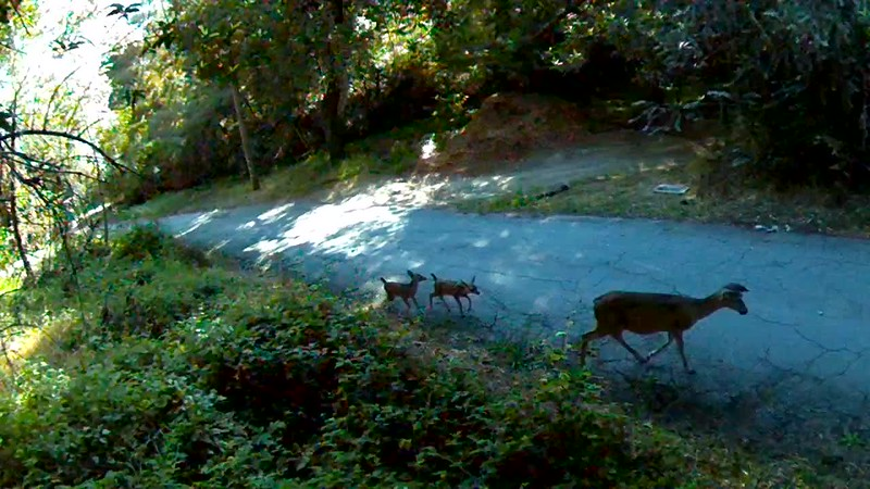 1527901382277-deer-with-fawns.mp4