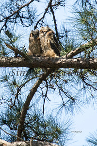 Owl  117