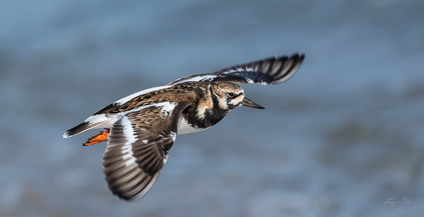 Tournepierre à collier, Ruddy turnstone