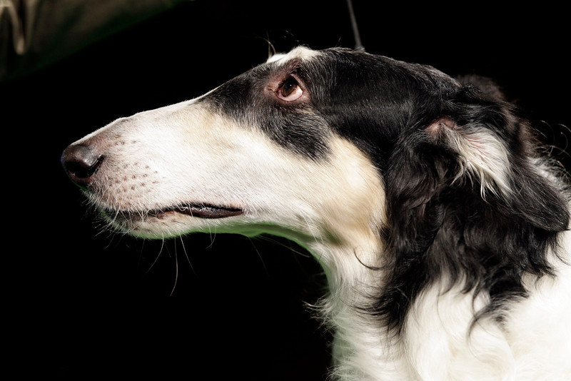 . Steed, a berzoi, looks to his handler during a press conference to announce the 137th Annual Westminster Kennel Club dog show Thursday, Feb. 7, 2013, in New York. (AP Photo/Frank Franklin II)