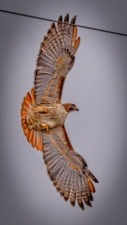 Hayti Redtail Hawk