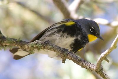 Warbler, Yellow-Rumped [Audubon's]