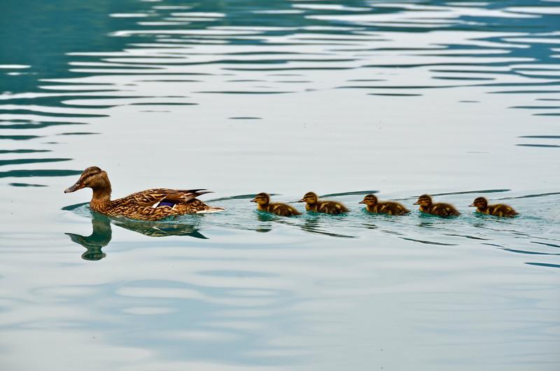 Duck and Ducklins. Blejsko jezero, Bled