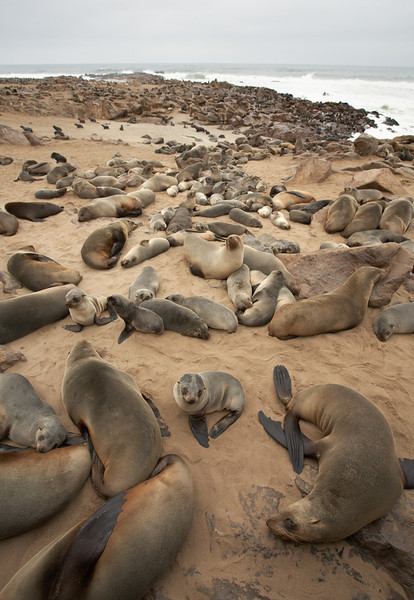 Cape Fur Seal - 8152.jpg
