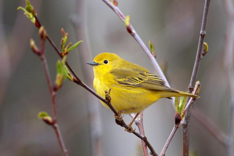 Warbler - Yellow - female - Taconite Harbor, MN