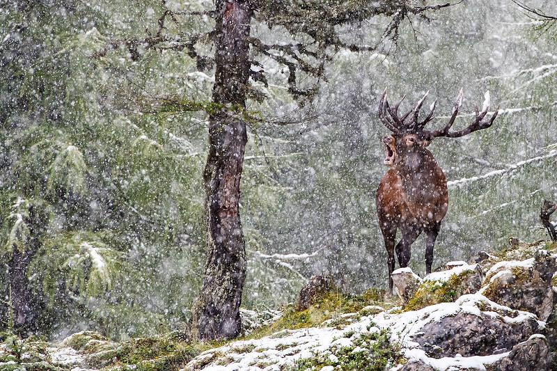 Hirschbrunft im Schneefall
