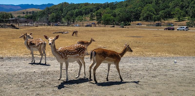 Fallow deer and sika deer