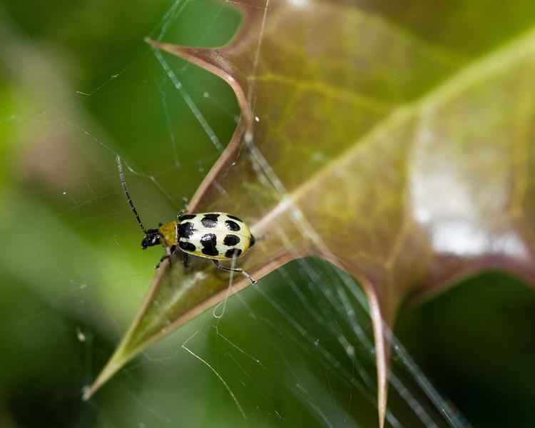 4418 Bug on Holly.jpg
