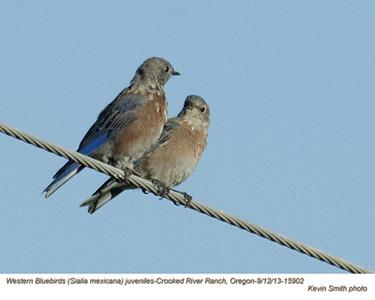 Western Bluebirds J15902.jpg