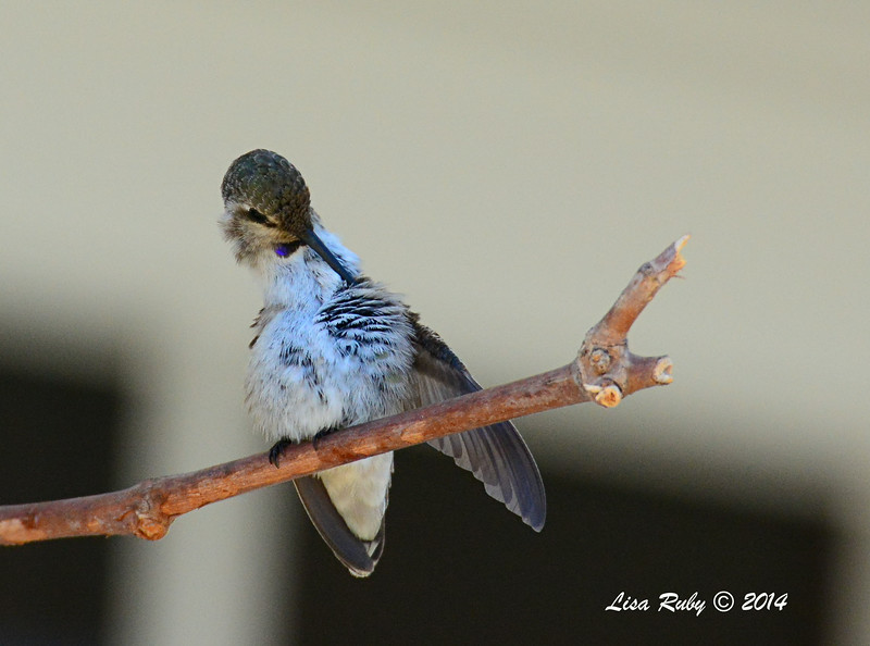 Immature Costa's Hummingbird (I think) - 7/13/2014 - Nancy's House, Ramona