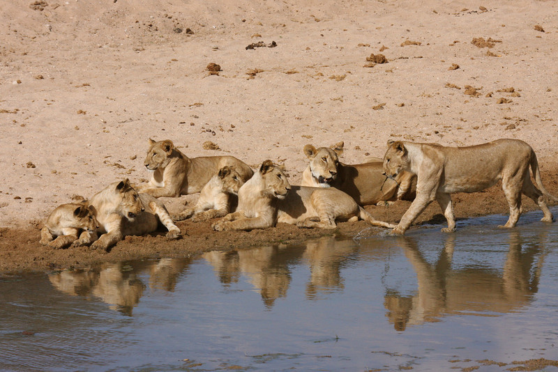 This was actually a group of ten lions.  There are a few more off to the side.