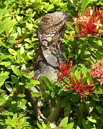 Mostly Iguanas,with a few others,Aruba