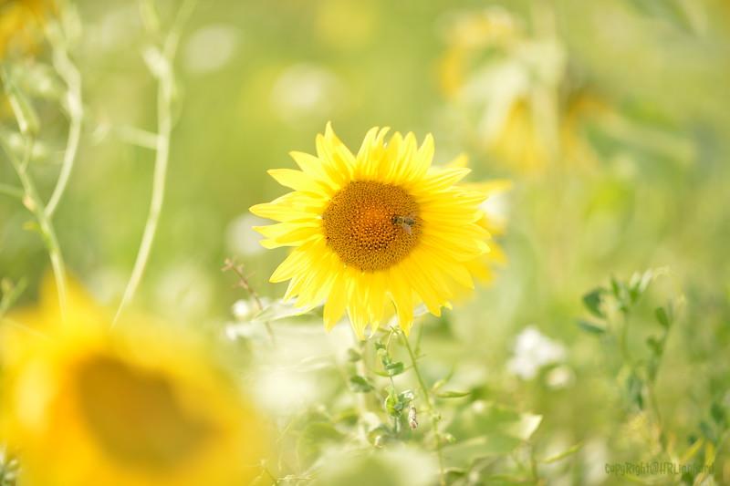 Sunflower Lonay_20092020 (21).JPG