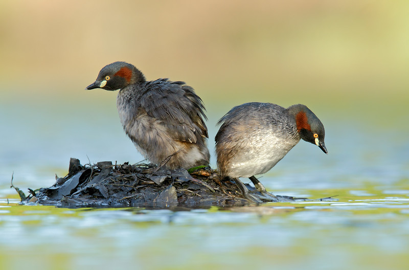 Grebe - pair standing on nest MASTER.jpg