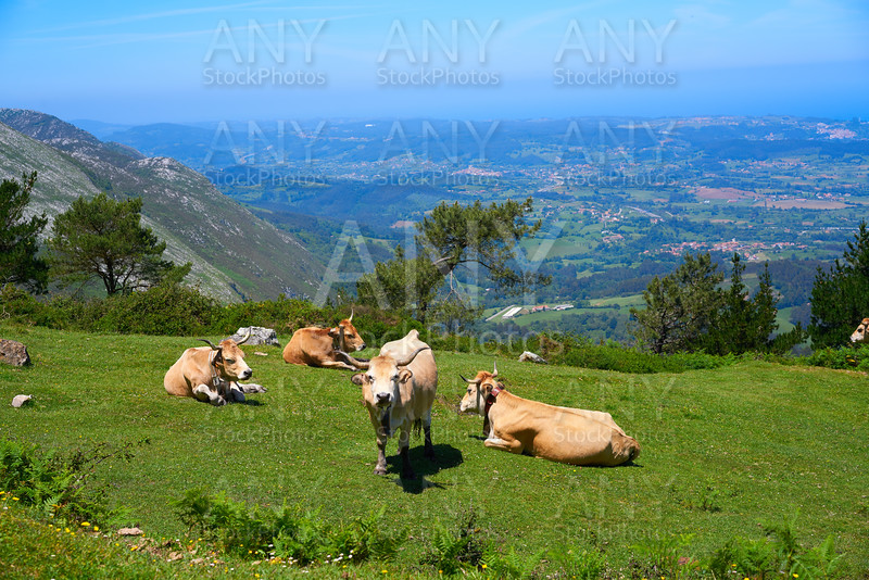 Asturias cow in high mountain and sea background