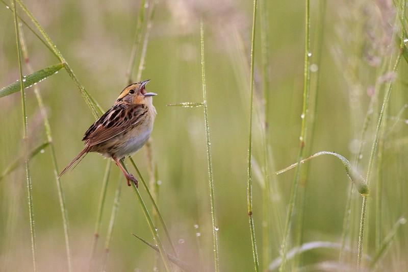 LeConte's Sparrow Sax-Zim Bog MN IMG_0039553.jpg