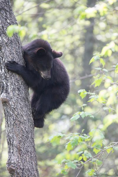 20120519-_Q2C6055Black_Bears.jpg