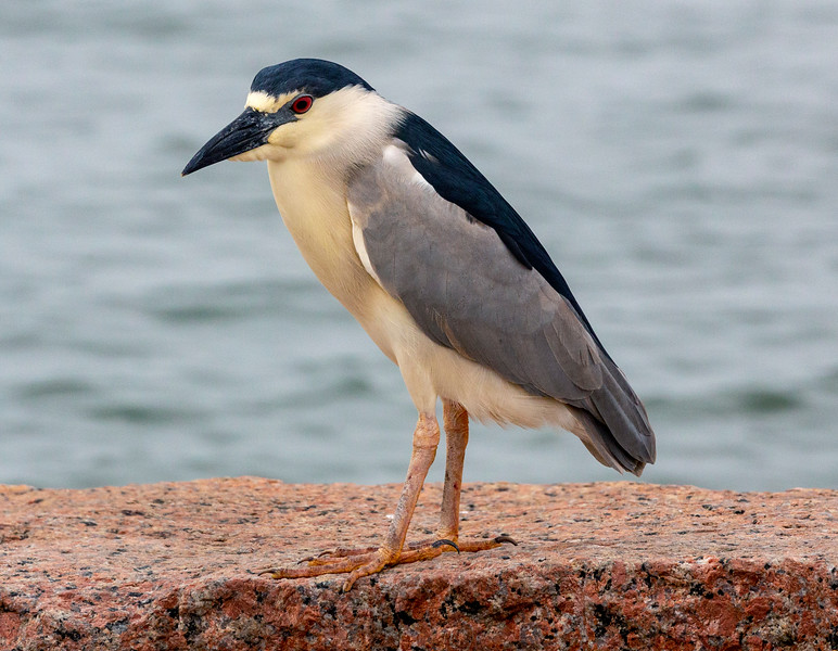 We pass a not-too-common Black-capped Night Heron.