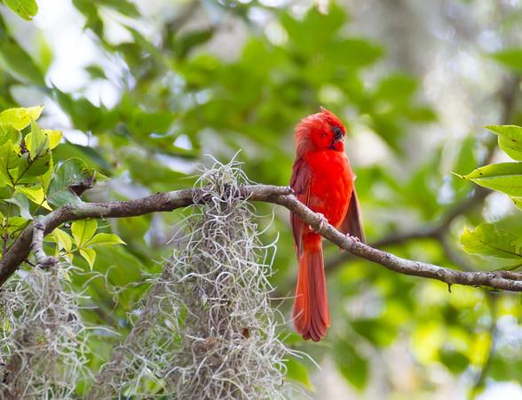 Red Cardinal at HIlton Head Island