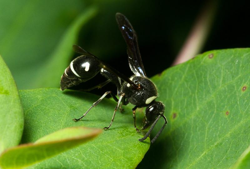 Potter wasp, Eumenes fraternus (Eumeninae) from Iowa.