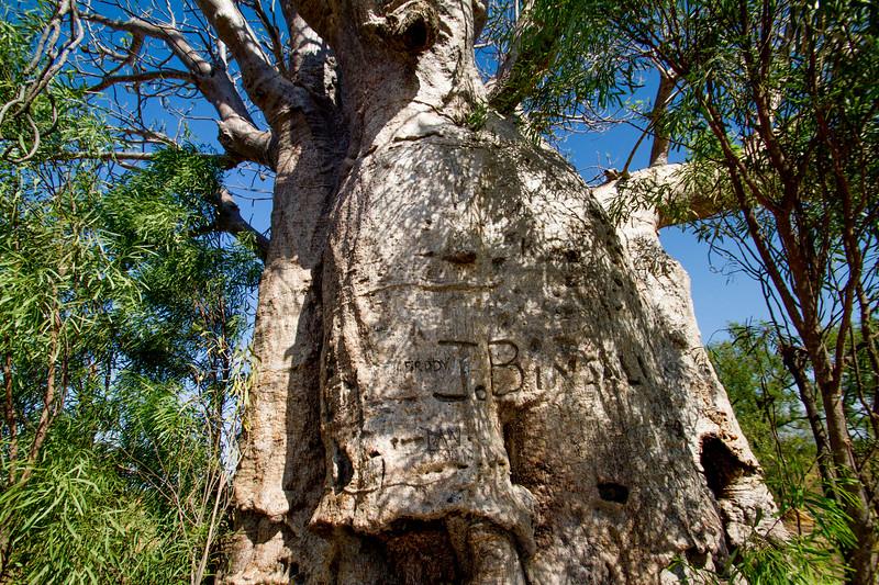 Boab(ab) tree, Adansonia gregorii, Western Australia
